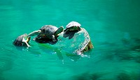 Turtles. Turtles cubs _ basked in the sun