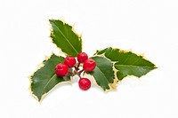 holly plant with berries isolated on white background