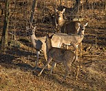 one doe looking the wrong way in a herd of whitetail