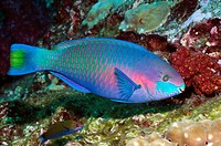 Quoy's parrotfish Scarus quoyi followed by a Moon wrasse Thalassoma lunare  Andaman Sea, Thailand