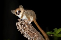 Gray-brown Mouse Lemur Microcebus griseorufus sitting on branch at night, Berenty, Madagascar