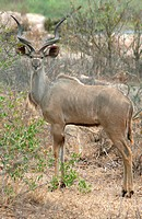 Kruger National Park, male kudu, Tragelaphus strepsiceros