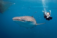 Whale Shark and Freediver, Rhincodon typus, Cenderawasih Bay, West Papua, Indonesia                                                                   ...
