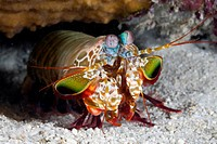 Mantis Smasher Shrimp, Cenderawasih Bay, West Papua, Indonesia                                                                                        ...