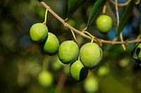 Olive 07