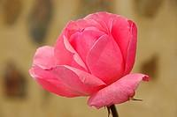 Rose 28