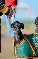 Finals of the Spanish National Championships of Hare Coursing, in Madrigal de las Altas Torres, Avila, Spain  Although forbidden in most countries, it...