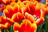 Macro shot of bright colorful bunch of orange tulips