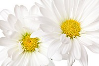 daisy isolated on a pure white background