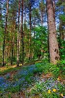 spring pinewood