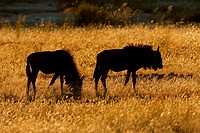 Silhouetted blue wildebeest Connochaetes taurinus among grasses at sunrise, Kalahari, South Africa
