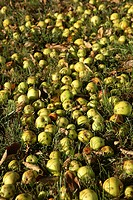 windfall apples lying on ground in grass & leaves