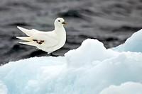 Ivory Gull Pagophila eburnea Torellneset Nordaustland Svalbard Norway