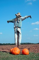 A Scarecrow and pumpkins on a farm field