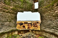 Herd of cows framed in the hole of a broken wall from a decrepit building, suggesting poverty