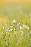 Cuckoo Flower or Lady's Smock (Cardamine pratensis) in morning light