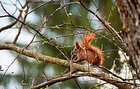 Outdoor image of a red wild squirrel in its natural habitat