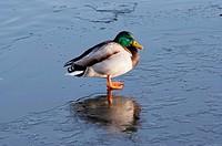 Shot of the drowsy wild duck _ mallard