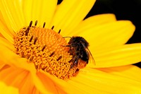 Bumble bee on a yellow marguerite flower