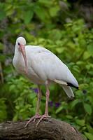 White Ibis Portrait shot in Athens Zoo