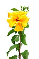 Beautiful yellow hibiscus flower isolated on white background.
