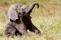 African elephant baby playing with her trunk