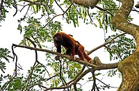 Red Howler Monkey, alouatta seniculus, Female with Young on its Back, Los Lianos in Venezuela
