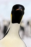Close_up of an emperor penguin Aptenodytes forsteri on the ice in the Weddell Sea, Antarctica