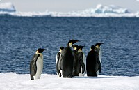 Emperor penguins Aptenodytes forsteri on the ice in the Weddell Sea, Antarctica