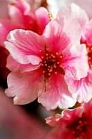 An isolated shot of Pink Cherry Flowers