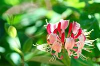 Beautiful Flower Lonicera caprifolium on the sunny background