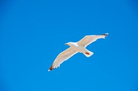 A seagull in flight against a blue sky background at Folkestone in Kent, England.