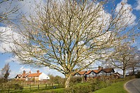 Pretty leafless tree village houses Easton, Suffolk, England