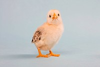 Chick, studio shot