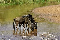 Blue Wildebeest, connochaetes taurinus, Adults drinking at River, Masai Mara Park in Kenya