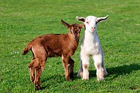 Two goat kids in field