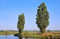 Lombardy Poplars Populus nigra var. italica alongside the Lippe River, North Rhine_Westphalia, Germany, Europe