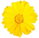 One yellow flower of calendula with dew. Isolated on white background. Close_up. Studio photography.