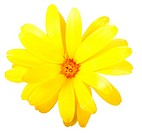 One yellow flower of calendula. Isolated on white background. Close_up. Studio photography.