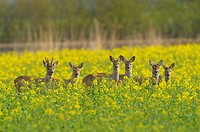 Roe deers in rape field, Capreolus capreolus, Hesse, Germany, Europe
