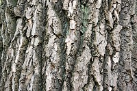 Old tree bark _ natural texture background