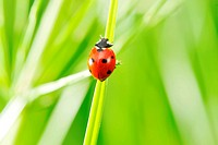 Ladybug on a grass with shallow DOF