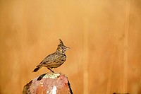 Crested lark Galerida cristata in the National Park Cabañeros