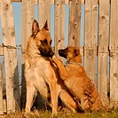 female purebred belgian shepherd malinois and her puppy
