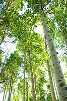 Looking through a forest of Aspen trees