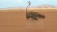 Motion blur close up side view of female ostrich running on lake bed, Amboseli, Kenya, East Africa