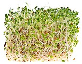 Eating Alfalfa Sprouts is a Trendy way to stay healthy! Isolated on White with a Clipping Path.