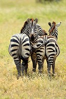 Great migration in Serengeti. The Grévy´s zebra goes at the head of the migration. Equus zebra.