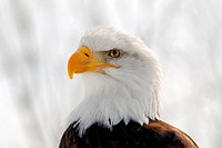 Close_up picture of an American Bald Eagle