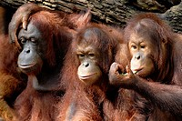 Close up of a group of Orang utan teenager sharing some food